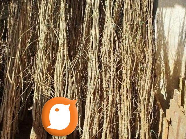 Kalemljeni lesnik-Rasadnik Primus