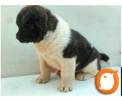 AMERIČKE AKITE štenci šampionskog porekla