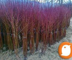 Narudzbe jesenjih sadnica - porodica NASTIC